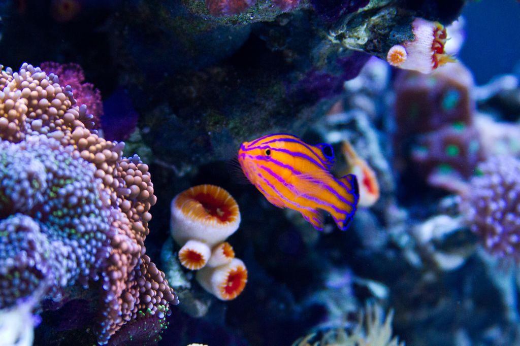 Picasso Clownfish Wallpaper Gladiator Picasso Clownfish